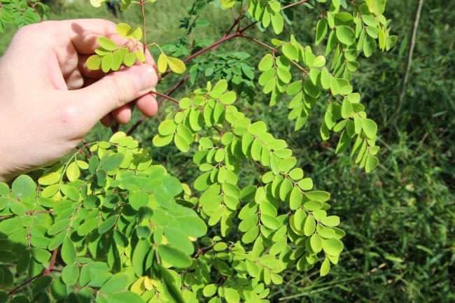 Young Moringa leaves are beautifully clean and full of vitamins thanks to high quality soil.